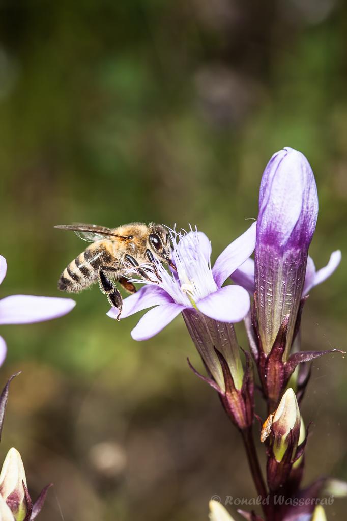 Deutscher Fransenenzian mit Biene