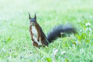 Das Eichhörnchen sitzt im Gras und schaut mich an