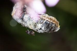 Eingesponnene Biene mit Fliege