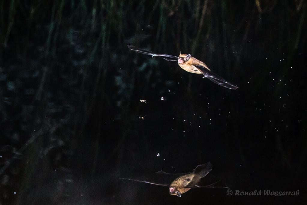 Fledermaus bei der Jagd