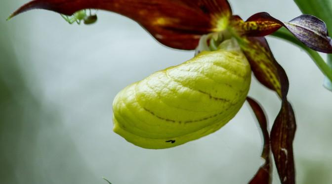 Gelber Frauenschuh mit Spinne im NSG Schopfeln-Rehletal