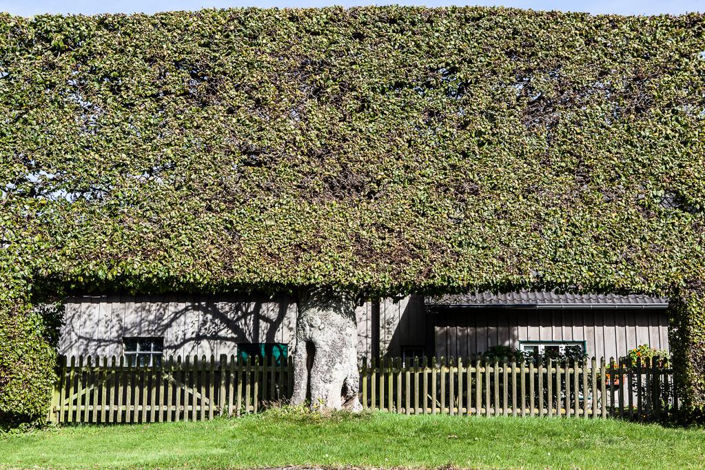 Heckenland - Hecke mit Mittelstamm und Ausschnitten mit Zaun in Eicherscheid