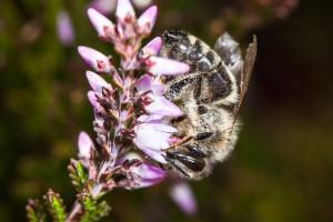 Honigbiene am Heidekraut
