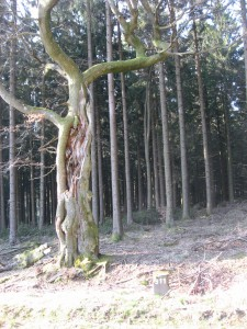 Markanter Baum am Grenzstein 511