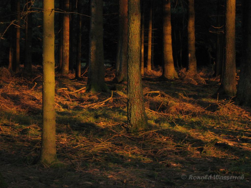 Wald im Abendlicht im Camp Elsenborn
