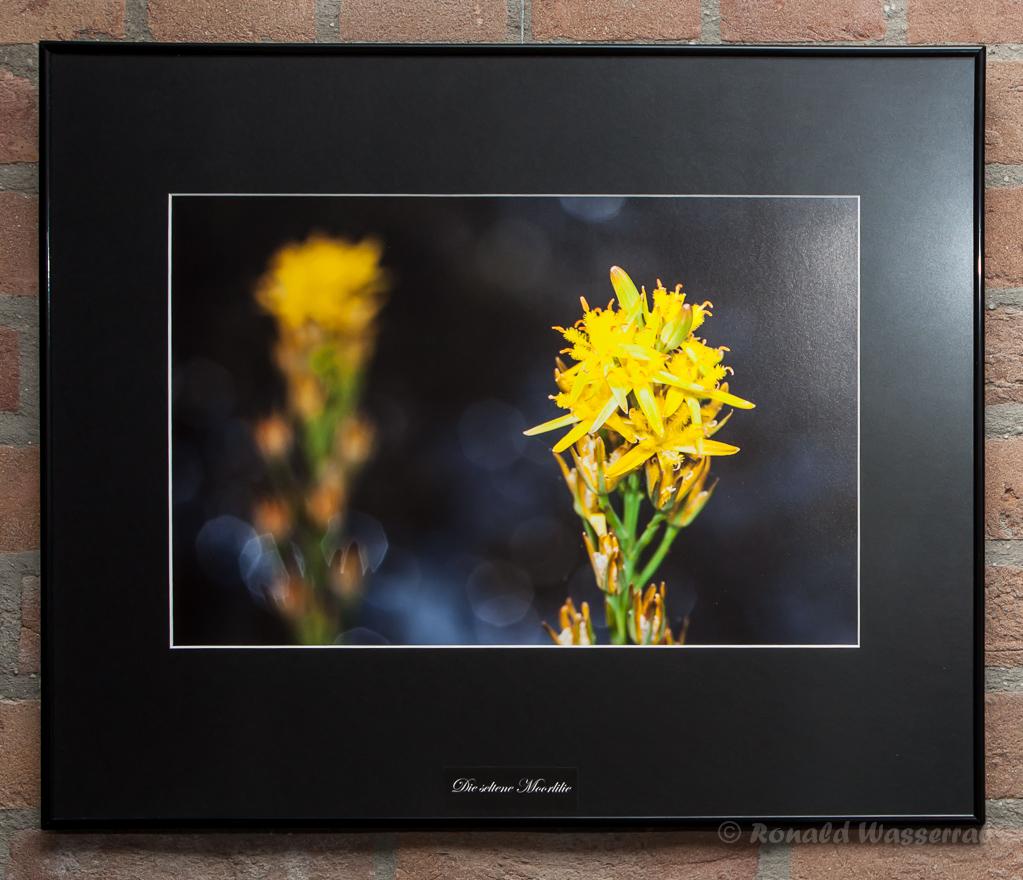 Die seltene Moorlilie