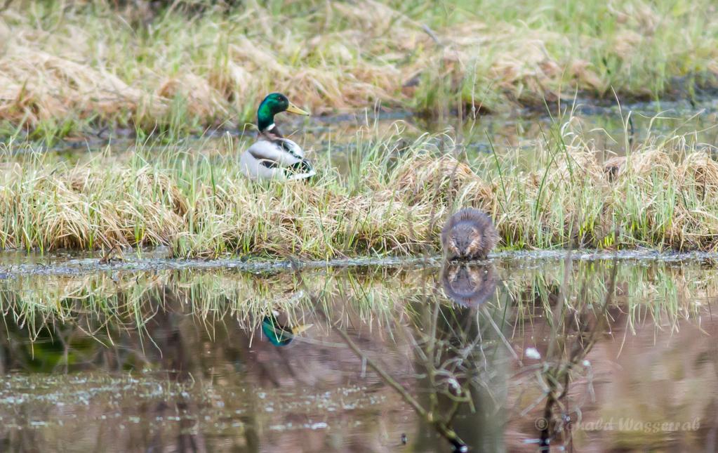 Ente und Bisam am Olefteich