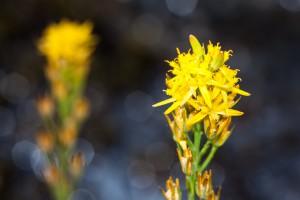 Die seltene Moorlilie (auch Beinbrech genannt)