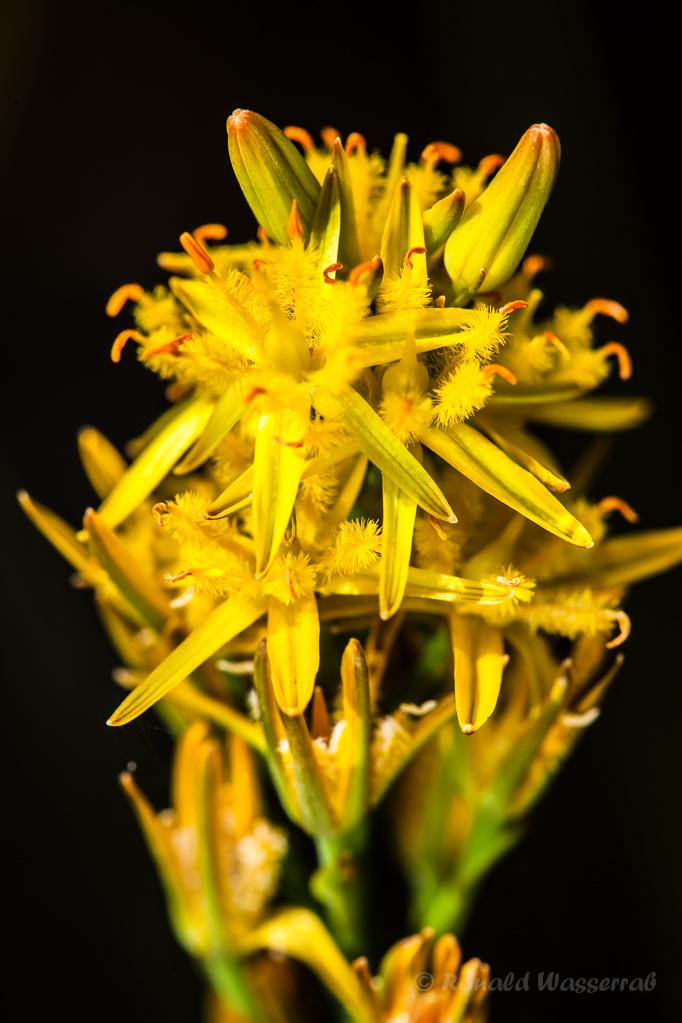 Moorlilie im Paustenbacher Venn