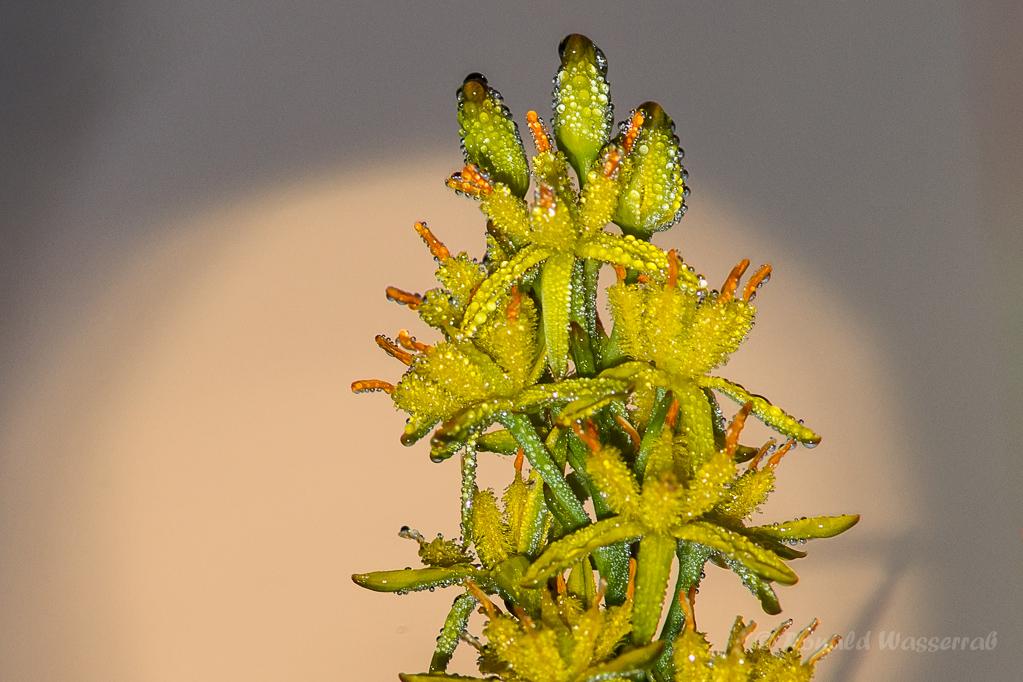 Moorlilie mit Tau im Sonnenaufgang