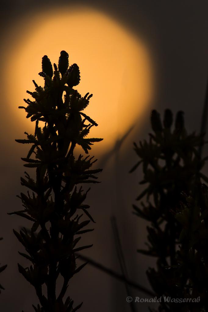 Moorlilie im Sonnenaufgang
