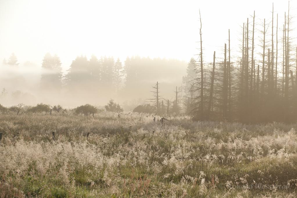Nebel und abgestorbene Tannen am Hexenplatz