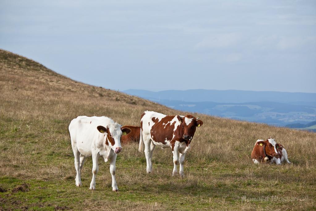Wandern überm Himmelreich - Rinder am Baldenweger Buck