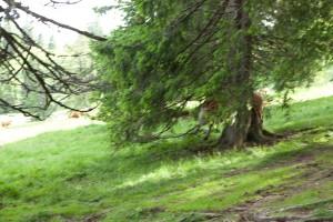 Stampede - Ein Rind der wild gewordenen Herde springt durch das Geäst Nähe Krunkelbachhütte/Finsterbühl (Ausschnitt)