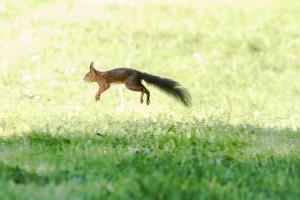 Das Eichhörnchen springt und tanzt im Gras