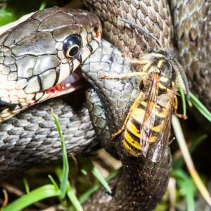 Unbarmherzig beißt die Wespe die Wunde der verletzten Ringelnatter auf