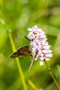 Wespe und Schmetterlinge auf Schlangenknöterich am Hexenplatz