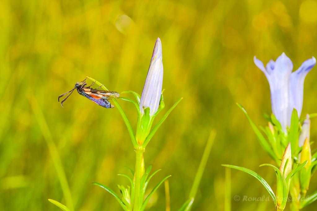 Widderchen und Lungenenzian-Blüten