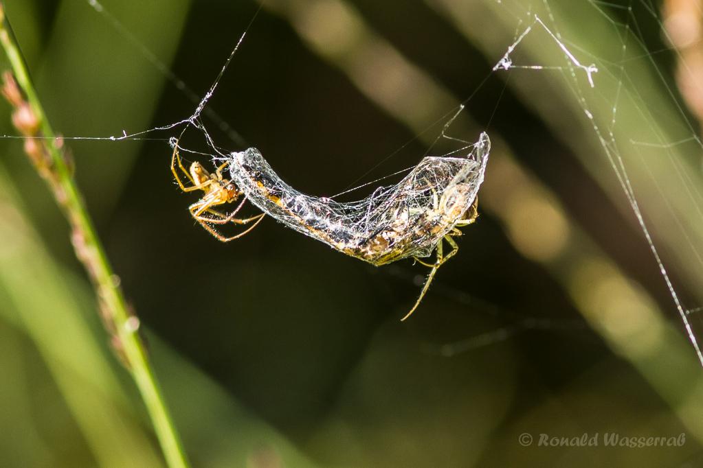 Zwei Spinnen mit Mosaikjungfer als Beute